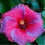 Hibiscus cure
